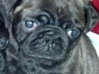 2 male silver pug puppies !!! I have a liter of pug