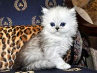 Stunning, Dessert, Cuddly and Loving Chinchilla Persian