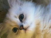 I have 2 silver shaded persian kittens for adoption.