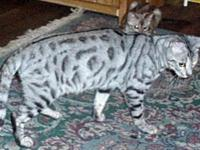 QT Silverheels is an 18 months aged silver found tabby.