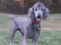 I have a Silver Standard Poodle named Paisley that is