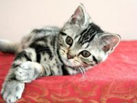 Beautiful American Shorthair Classic Silver Tabby