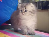 For Sale Silver Tabby Doll Face Persian Kitten Female