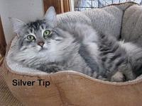 Silver Tip's story Silver Tip is gorgeous !  She's