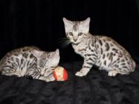 2 Beautiful F-5 Silver Male Bengals ready to go to