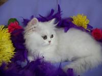 Gorgeous Chinchilla and Shaded Silver Persian kittens