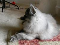 Smoked Silvershaded Persian Female CFA 3 years old Very