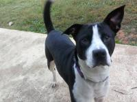 Sima is a very sweet 3yr old Pit Border Collie mix