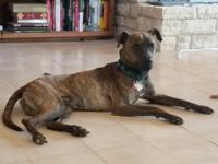 Brindle lovers we have the boy for you.  Meet Simba, a