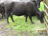 Small herd of Simmental cows crossed with Black Angus