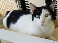 Simon's story Simon is a 1.5 year old male tuxedo. He