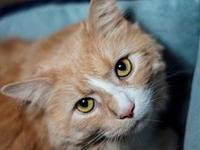 Simon (Maine Coon mix)'s story This big, handsome, very