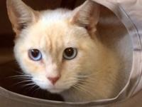 Simon is a 2 year old stunningly beautiful Siamese