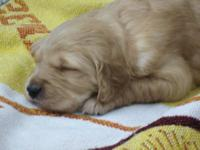 Callah, my Golden Retriever, just gave birth on