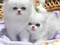 These kittens are gorgeous and known for their stunning