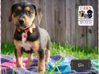 Sin is a 2 month old Rottweiler/Pit Bull mix. She is