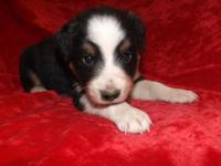 Male Australian Shepherd /Border Collie puppy Sire is a