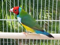 "Here is a singing ""Gouldian Finch"" that is the talk of"