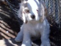AKC WHITE MALE COCKER SPANIEL PUPPY- CHAMPION LINES