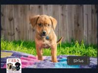 Sirius is a 2 month old Rottweiler/Pit Bull mix. He is