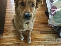 Sirus's story MEET SIRUS! He's a five-year-old golden