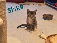 Sisko's story Sisko is a sweet gray tabby with white