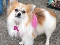 Sissy is a one year old female purebred Pomeranian.