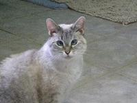 Sissy's story Sissy is a beautiful Siamese mix who has