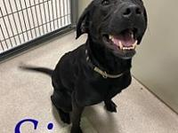 My story Sissy is a 4-5 yr old lab mix. She is loose