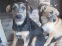 THESE TWO GIRLS ARE TERRIER MIXES, 16 WEEKS OLD, SPAYED
