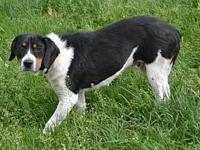 Sitka's story Sitka is a female, 1 year old Beagle mix