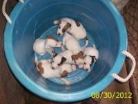 I?ve four males and two females NKC registered Jack