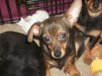 Skeeter is a 4 month old Chi-Weenie He will probley