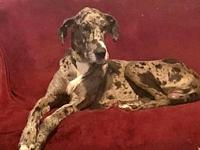 Sketch's story Sketch is a beautiful harlequin Dane, he