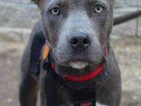 Skid is a six month old pit mix. He just arrived here