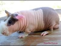 Rumble Rumps is a caviary dedicated to the skinny pig.