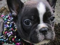 Skipper is a healthy active friendly French Bulldog. He