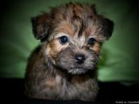 This adorable little Yorkie/Poo boy only weighs 1 pound