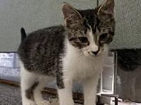 Skippy kitten's story For Adoption: Skippy is great