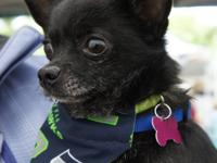 Skittle is a 5 year old male Pomeranian/Chihuahua mix.