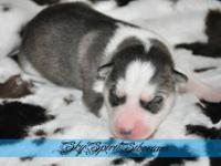 Please visit our website www.skyspiritsiberians.com