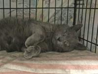 Slate is a handsome solid grey russian blue mix