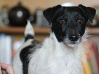 Slicker is a 6 year old male Jack Russell Terrier. He