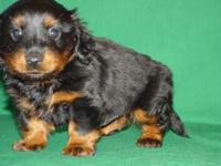 He is a gorgeous mini black and tan full coat