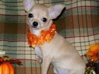 """Kali"" is a little young AKC fawn & & white. brief coat"