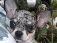 This is a beautiful little female blue mere Chihuahua,
