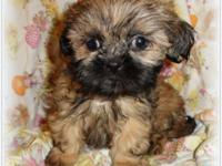 Small AKC Baby Boy Shih Tzu's ~ ready for there new