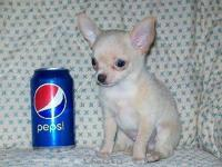 We have two little AKC Chihuahua puppies available to