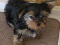 Extremely gorgeous champion lines AKC Yorkshire terrier