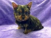 Small AKC Male Yorkshire Terrier Puppy For Sale. 11